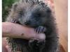 riccio-piccolo